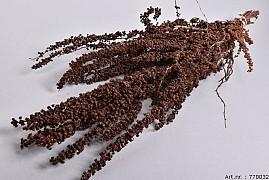 DRY PALMA GRASS NATURAL 50-65CM P/100 GRAM